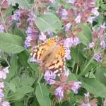 Бориспіль заполонили яскраві метелики