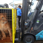 П'ятьох українських левів відправили до заповідника в Африку
