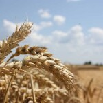 В Україні вже зібрали 20,6 мільйона тонн зерна